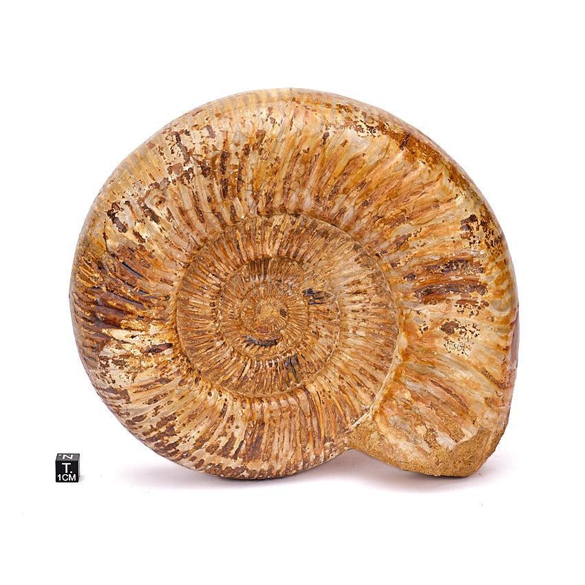 ammonites fosil junto a cubo de medicion